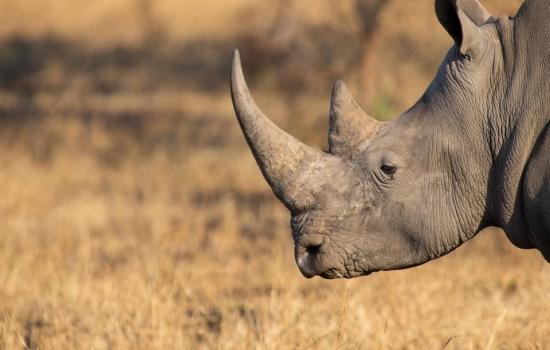Matan a balazos al mayor cazador furtivo de rinocerontes en Sudáfrica